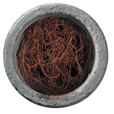 tree root grown into drain